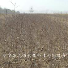 云浮9公分冬枣树批发商质优价廉图片