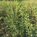 水晶石榴树苗成长特性、水晶石榴树苗哪里有卖