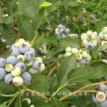 蓝莓苗价格实惠、卢湾夏普蓝蓝莓苗种的怎么样图片