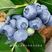 4年蓝莓苗种植技巧、泰州赫伯特蓝莓苗销售图片