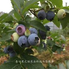 5年蓝莓苗含糖量多少、咸阳北极星蓝莓苗供应图片