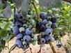 赫伯特蓝莓苗采购?#35748;摺?#29863;山米德蓝莓苗新品种价格基地