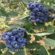 5年蓝莓苗出售、太原乔治宝石蓝莓苗价格实惠图片