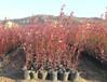 新千年蓝莓苗货源地在哪、垫江奥尼尔蓝莓苗货源地在哪
