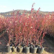 斯巴坦蓝莓苗哪里的好、清远齐佩瓦蓝莓苗种植技巧图片