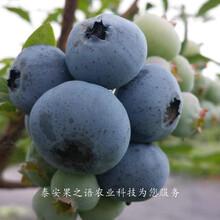 考斯特蓝莓苗采购热线、海拉尔晚蓝蓝莓苗一亩栽多少棵图片