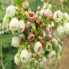 北高丛蓝莓苗培育基地、西城蓝莓小苗种植基地图片