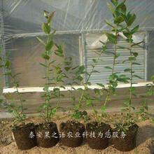 巨峰蓝莓苗今年报价、唐山布里吉它蓝莓苗新品种新价格图片