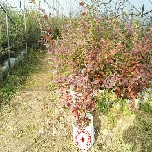 纳尔逊蓝莓苗哪里有卖、潼南开普菲尔蓝莓苗哪里的好图片