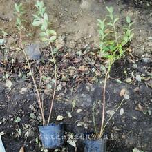 北蓝蓝莓苗新品种价格基地、宣武南陆蓝莓苗价格图片