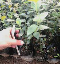 友谊蓝莓苗批发、承德日出蓝莓苗品种图片