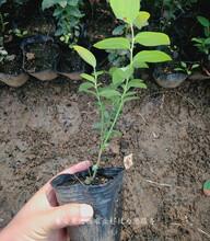 晚蓝蓝莓苗新品种新价格、成都布莱登蓝莓苗主产区欢迎您图片
