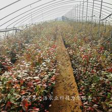 木兰蓝莓苗批发商、岳阳蓝港蓝莓苗真正适合南方种植的品种图片