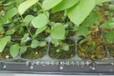 沃农蓝莓苗新品种新价格、?#34920;?#24343;罗里达蓝莓苗出售信息