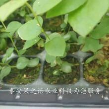 艾克他蓝莓苗今年报价、金华红利蓝莓苗厂家图片