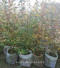 坤蓝蓝莓苗定购热线、恩施芬蒂蓝莓苗主产区欢迎您图片