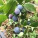 蓝宝石蓝莓苗一?#29611;?#20215;钱、綦江灿烂蓝莓苗报价
