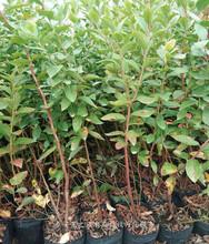 北蓝蓝莓苗量大从优、海北芝妮蓝莓苗领先的育苗技术图片