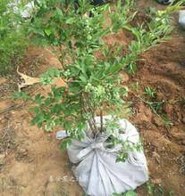 艾克他蓝莓苗新品种、乌海4年蓝莓苗一亩栽多少棵图片