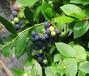 绿宝石蓝莓苗销售、铜梁都克蓝莓苗新品种新价格