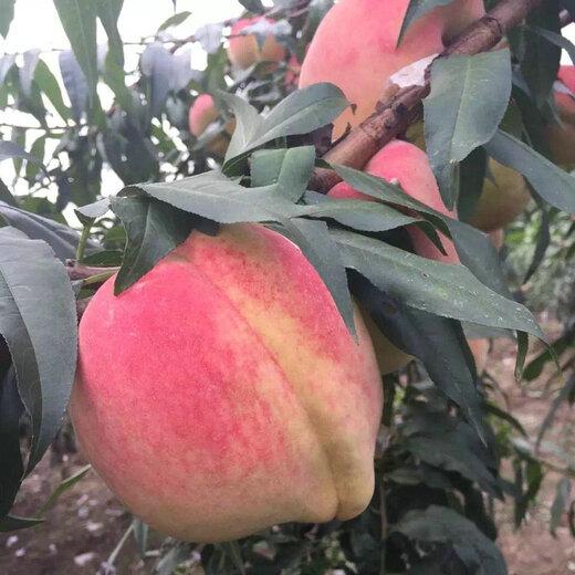 黃金密1號黃桃樹苗黃金密1號黃桃樹苗市場前景