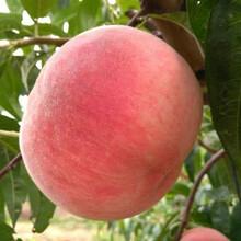 10公分桃樹10公分桃樹種植管理圖片