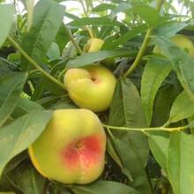 8公分桃树8公分桃树种植技术图片