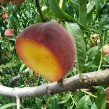 实生桃树苗实生桃树苗种植技术图片