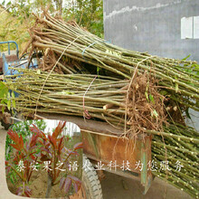 渝中10cm香椿树种植时间质优价廉图片