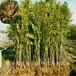 1cm香椿樹苗1cm香椿樹苗市場前景