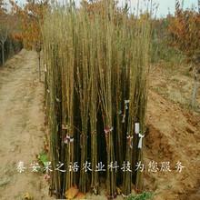 万州香椿苗品种齐全咨询电话图片