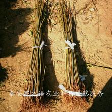 朔州6cm香椿树苗销售质优价廉图片