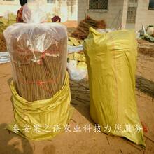 黄石5cm香椿树苗主产区欢迎您咨询电话图片