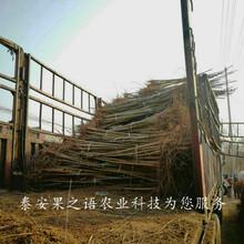 许昌2cm香椿苗行情2018最新报价图片