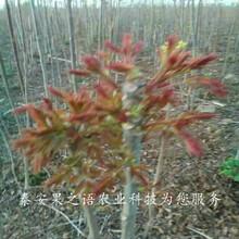 汕头3cm香椿苗种植技术咨询电话图片