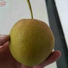 黄金梨树如何挑选、长寿黄金梨树图片