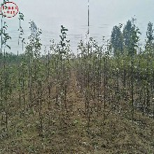 6cm梨树供应商、西安6cm梨树图片