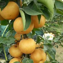 苹果梨苗基地供应、大渡口苹果梨苗图片