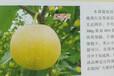 七月酥梨苗报价、莆田七月酥梨苗
