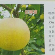 5cm梨树苗如何挑选、海南省直辖5cm梨树苗图片