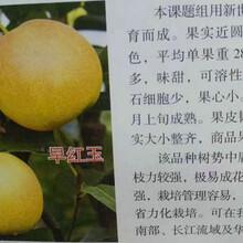 矮化梨树苗批发商、益阳矮化梨树苗图片