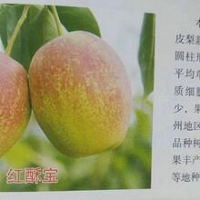 红月梨树技术指导、铁岭红月梨树图片
