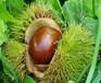 罗田早熟栗板栗树苗一亩栽多少棵、昭通烟清板栗树苗培育基地