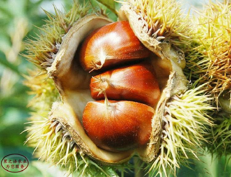 鄂州九家种板栗苗、九家种板栗苗报价一览表