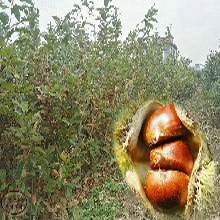 罗田早熟栗板栗苗今年报价、临汾4公分板栗树苗批发商图片