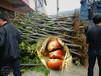 5公分板栗树苗出售信息、河西燕山魁栗板栗树苗种植基地