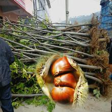 鄂州红毛早板栗苗、红毛早板栗苗厂家图片
