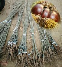 滕州早丰板栗树苗种植时间、梅州红光栗板栗苗品种图片