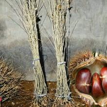 早栗苗报价一览表、邯郸板栗树种植时间图片