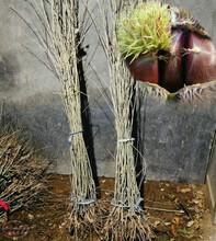 武汉滕州早丰板栗苗、滕州早丰板栗苗领先的育苗技术图片